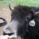 Up close with a Yak