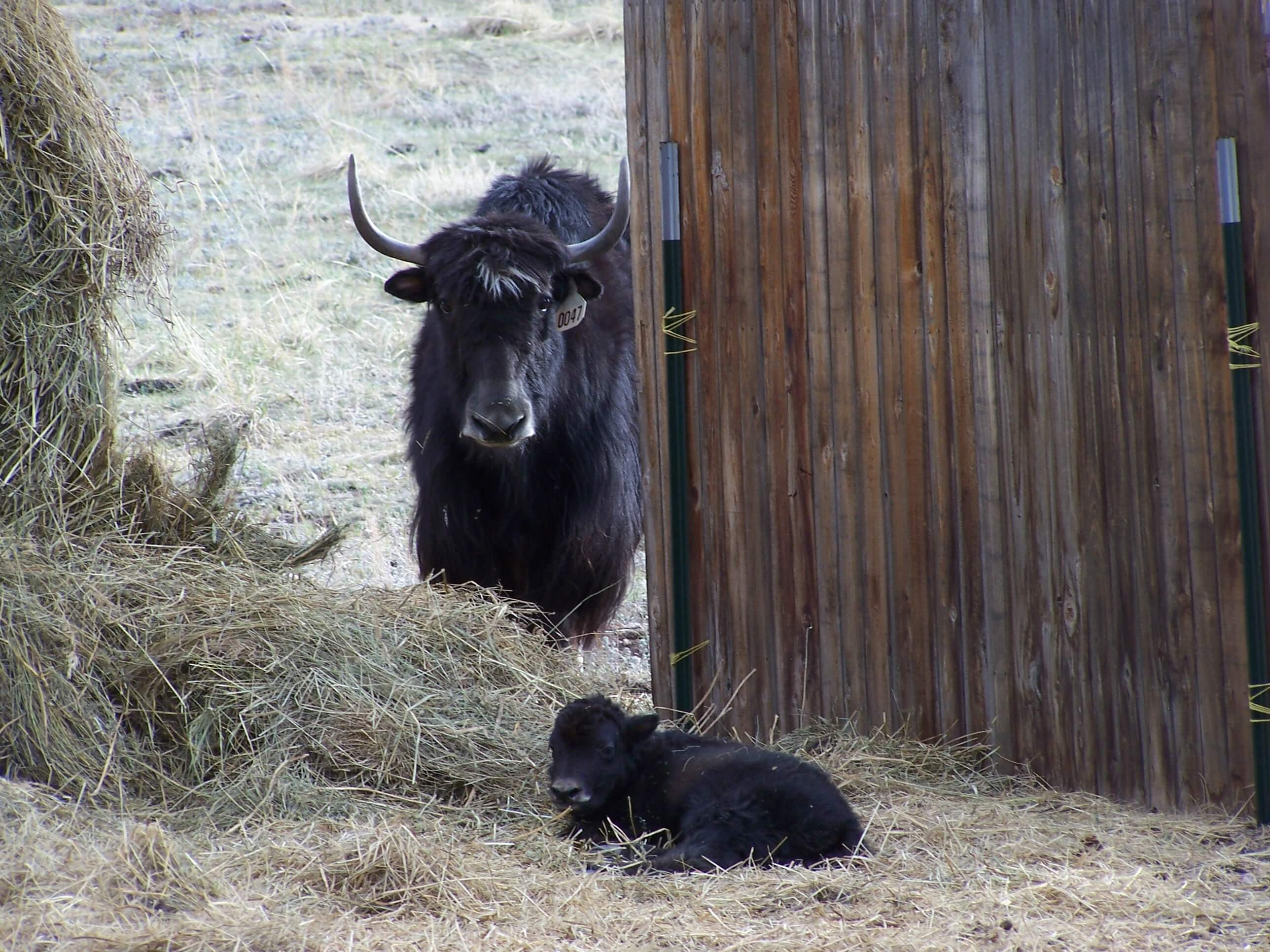 checking on Baby Yak
